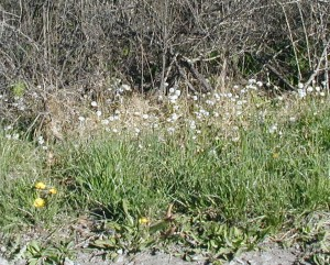 Coltsfoot seed heads are white in the background and dandelion is flowering yellow in the foreground.