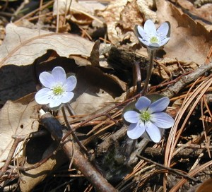 Hepatica americana blooming with three flowers.