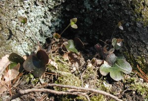 Three hepatica plants past blooming. The flower stalks can be seen with their three maroon sepals.