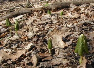 Mayapples poking out of the ground very early this year.