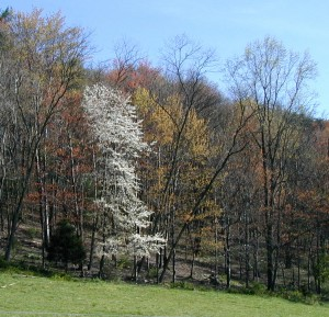 Serviceberry tree flowering among maples and oaks just leafing out.