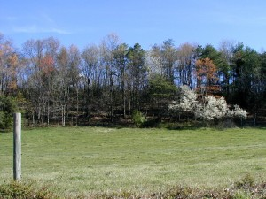 Flowering serviceberry tree at the edge of a field.