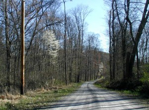 Flowering serviceberry trees along a Pennsylvania country road.