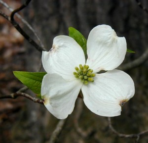 White dogwood flower closeup.
