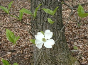 Dogwood flower with paired leaves in the background.