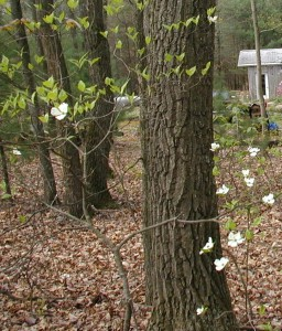 Small dogwood tree under oak.