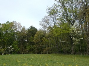 Two dogwood trees bloom among the hardwood trees developing their leaves.