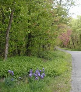 Bearded Blue Iris flowers beside a mountain road.