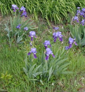 Flower stalks emerge from a clump of sword like leaves in the blue iris.