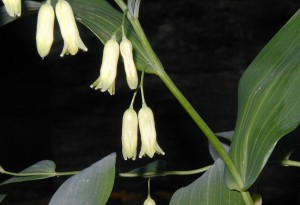 Flowers of Smooth Solomon's Seal dangle in pairs from leaf axils.