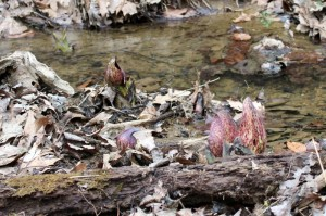 Camouflaged hoods of skunk cabbage at the creek.