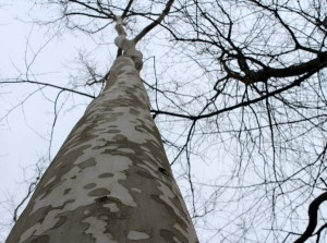 Light smooth spotted bark of the sycamore tree.