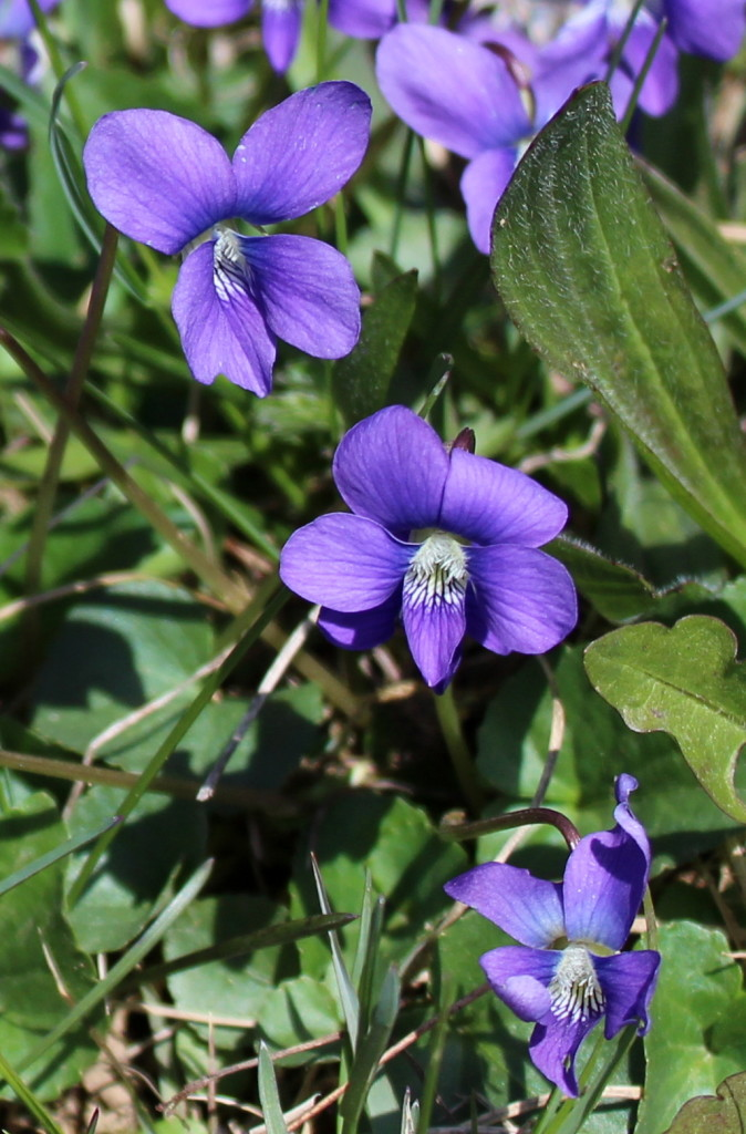 Common blue violet in the lawn.