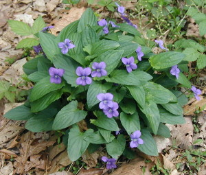 The Meek and Righteous Violet