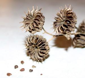 seeds inside pods