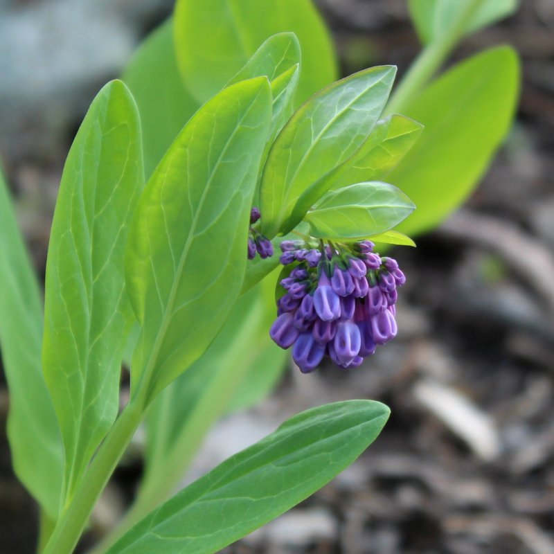 Deeply Colored Flower Buds of Mertensia