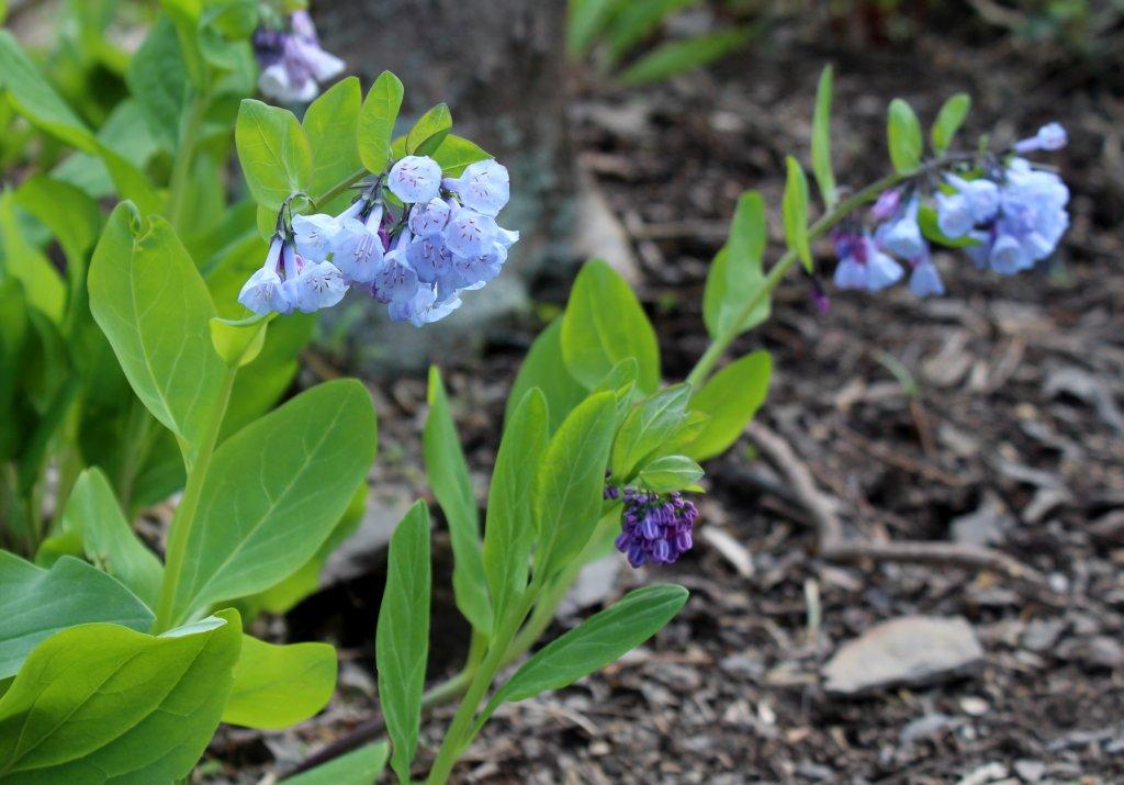 Virginia Bluebells Sway in the Breeze