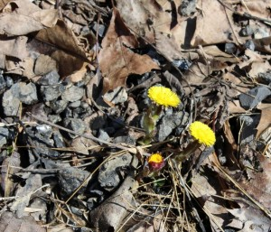 First Blooms of Coltsfoot