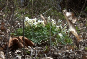 Dutchman's Breeches Hold Flowers over the Leaves