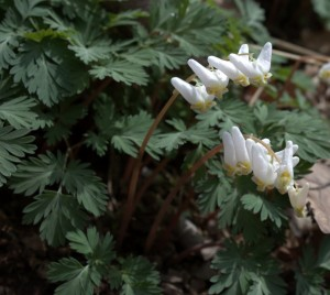 The Arching Flower Stem of Dutchman's Breeches
