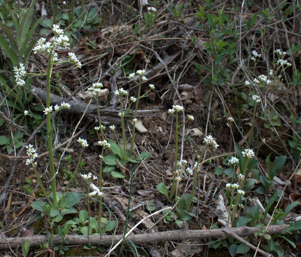 Early Saxifrage Blooming in April in Central PA