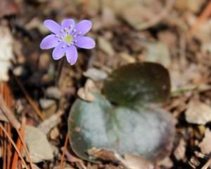 Hepatica blooming on 12 April 2014
