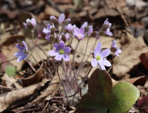 A bouquet of hepatica in the sun
