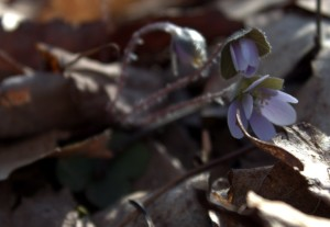 Hepatica in the Early Morning