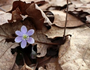 Hepatica comes up from under the leaf cover.