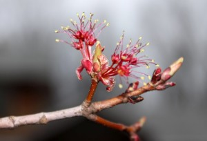Flowers of maple trees open up before the leaves appear.
