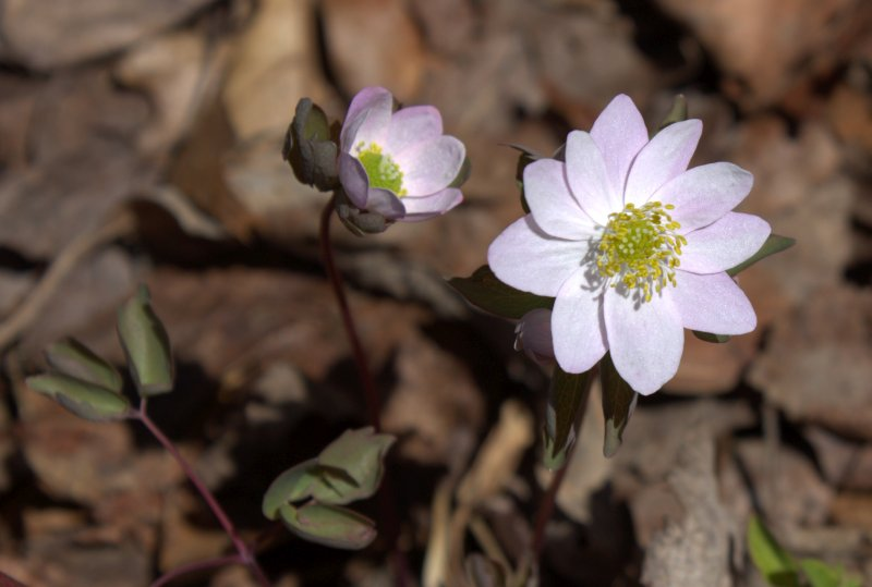 Rue Anemone flowering at the edge of the forest.