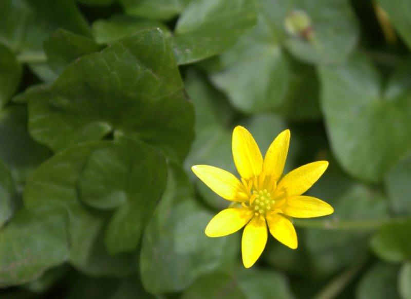 Lesser Celandine, <em>Ranunculus ficaria</em>, blooming.
