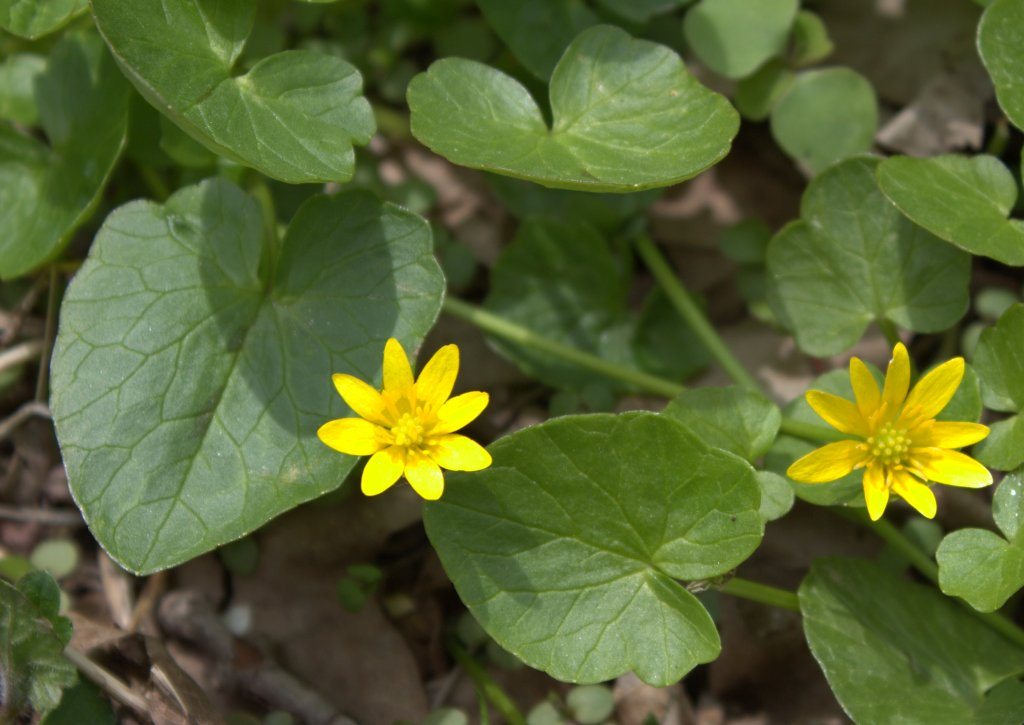 Buttercup flowers of lesser celandine with heart-shaped leaves.
