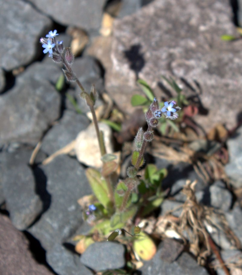 Strict Forget-Me-Not, Myosotis stricta, growing in a gravel parking lot.
