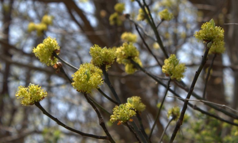 Sassafras trees and shrubs are noted by branched clusters of yellow flowers surrounding a set of new leaves.