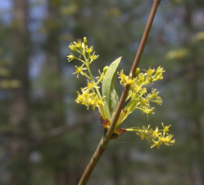 Sassafras female flower cluster,