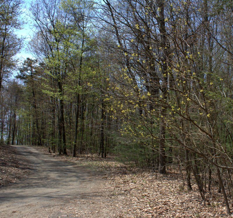 The yellow clusters on the small trees on the right are Sassafras blossoms.