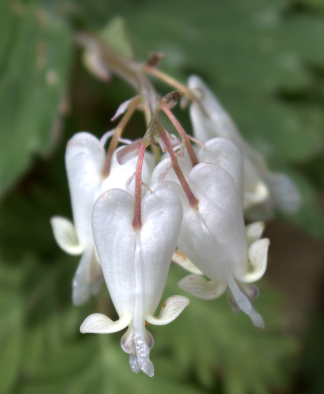 Close up of squirrel corn flowers look like bleeding hearts.