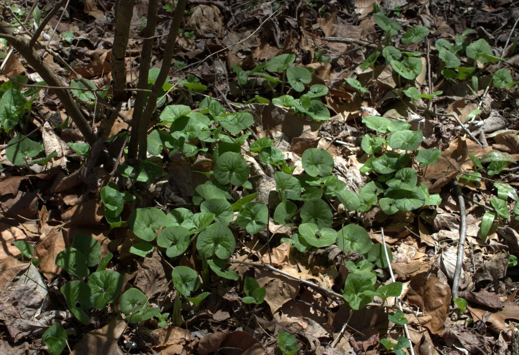 Among wild ginger plants note the sheaths of Jack-in-the-Pulpit  (in the lower left) emerging from the ground as spikes of vegetation.