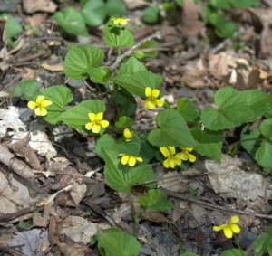 Yellow Violets in Bloom