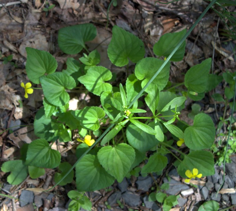 Yellow Violet with Heart-Shaped Leaves