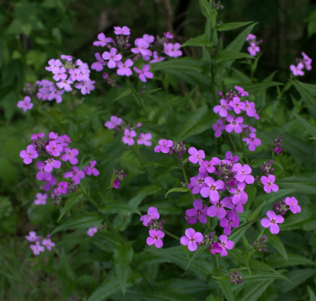 Dame's Rocket Blooms in Purple, Pink or White