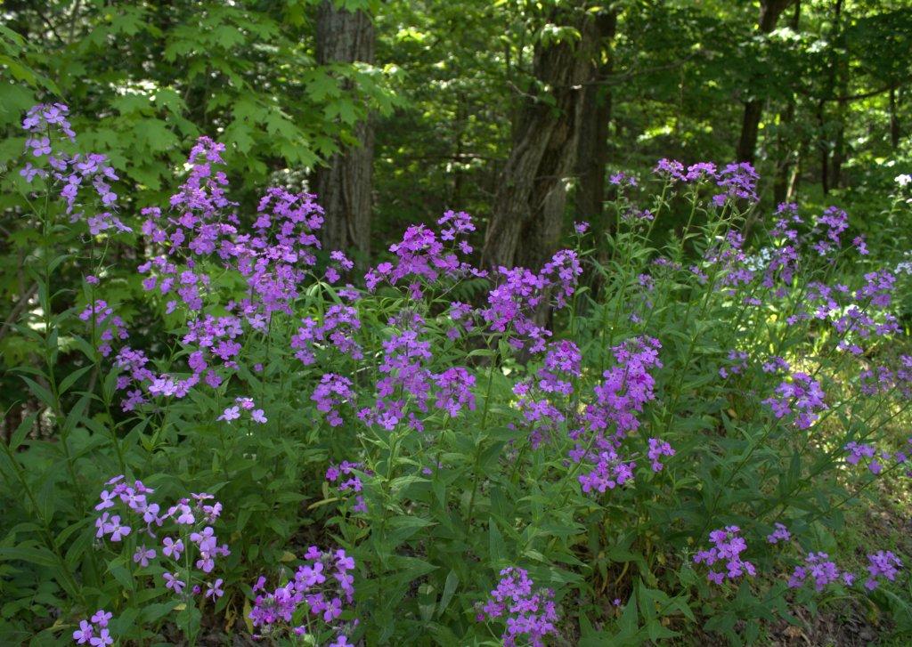 Dame's Rocket Blooming in Purple