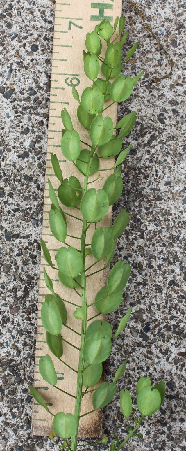 Seedpods of Field Pennycress