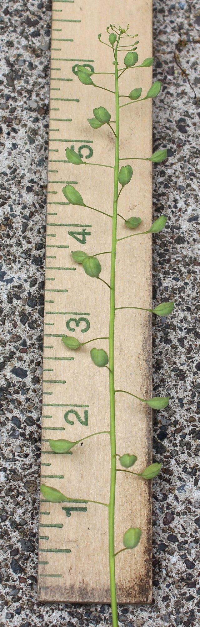 Seedpods of Field Peppergrass