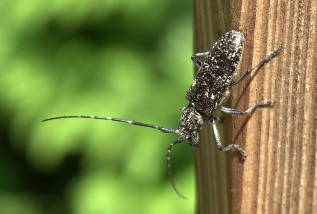 The black and white antennae are as long as the body on this female pine sawyer beetle.