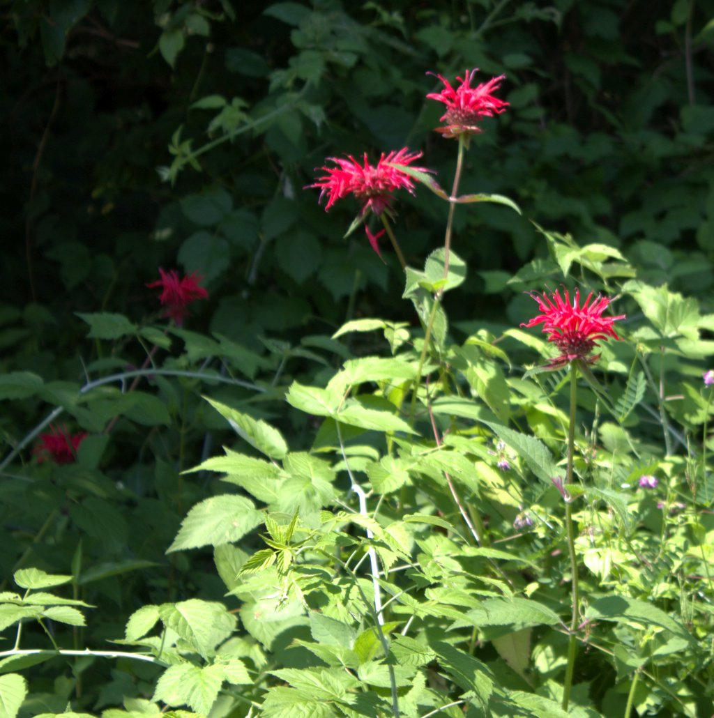 Bee balm blooming among black raspberries and crown vetch.
