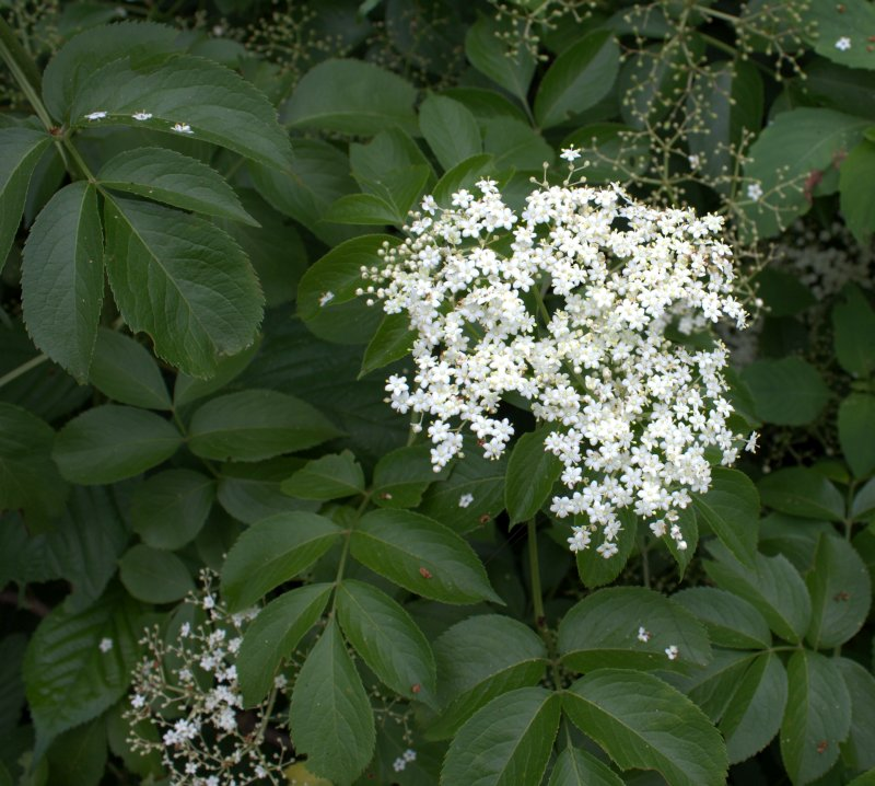 Elderberry leaves have several pairs of leaflets with serrated edges.