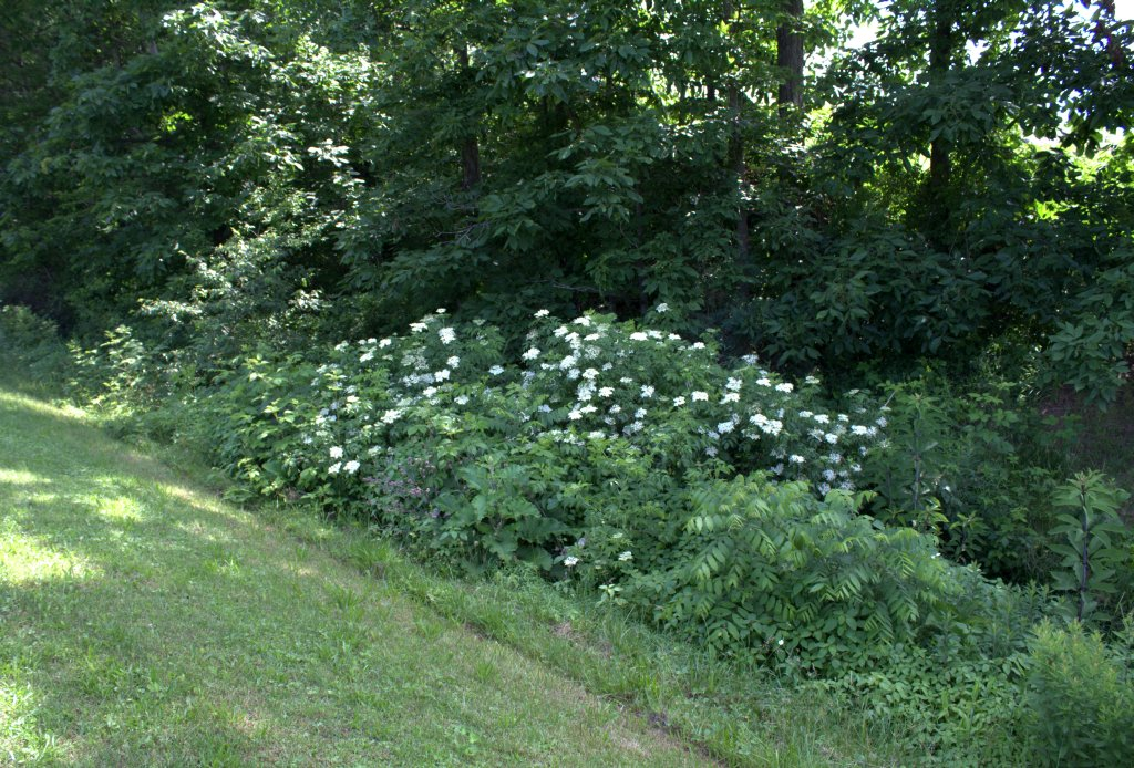 Flowering elderberry shrubs at the edge of a mountain stream.