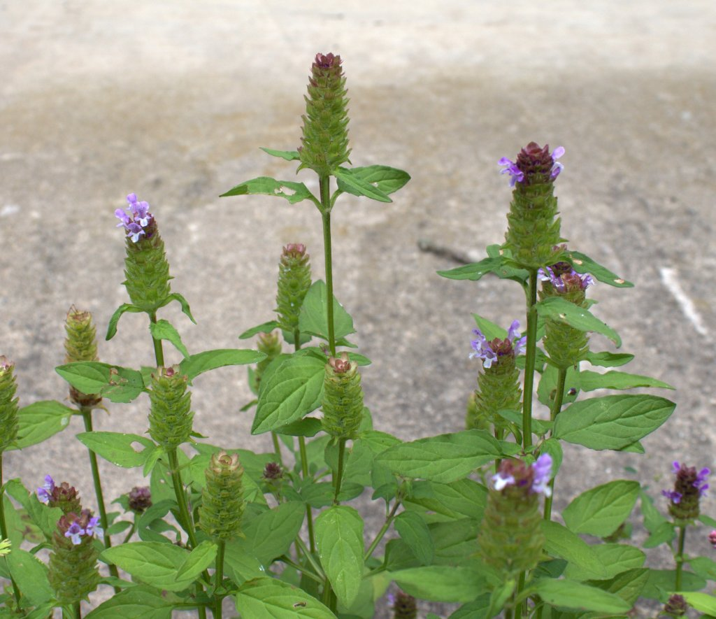 A voluntary weed called Self-Heal appeared at the edge of a driveway.